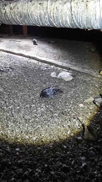 Degat fiente de pigeons 1